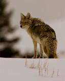 Coyote in the Snow Crop.jpg