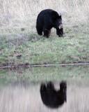 Black Bear Reflection at Phantom Lake 2.jpg