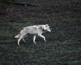 White Wolf at Canyon Junction.jpg