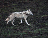 White Wolf at Canyon Junction 2.jpg