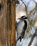 Hairy Woodpecker on the Tree 2.jpg
