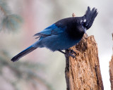 Stellar Jay Head Cocked.jpg