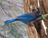 Stellar Jay Perched on Hollow Tree.jpg