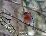 Pine Grosbeak.jpg