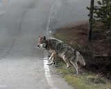 Wolf About to Cross the Road at Nymph Lake.jpg