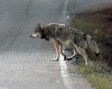 Wolf Crossing the Road at Nymph Lake.jpg