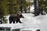 Grizzly on the Snow by the Stream.jpg