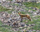 Fox on the Hillside.jpg