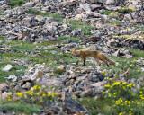 Fox Among the Wildflowers.jpg