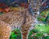 Lynx Closeup.jpg
