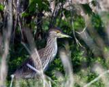 Juvenile NIght Heron in the Bushes.jpg