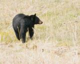 Black Bear at Phantom Lake.jpg