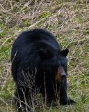 Black Bear vertical.jpg