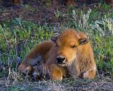 Bison Calf Closeup 2.jpg