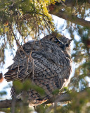 Great Horned Owl Male at Mammoth Visitors Center.jpg