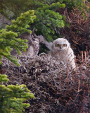 Great Horned Owl Chick on Moose Wilson Rd.jpg