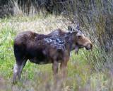Moose in Grand Teton.jpg