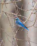 Mountain Bluebird on the Two Oceans Lake trail at Grand Teton.jpg
