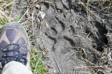 Mountain Lion Track on the Two Oceans Lake trail at Grand Teton.jpg