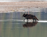 Black Canyon Pack Alpha in Alum Creek with Reflection.jpg