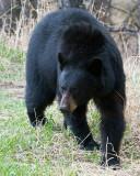 Black Bear at Hellroaring Picnic Area Vertical.jpg