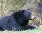 Black Bear at Hellroaring Picnic Area Recumbant.jpg