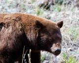 Cinnamon Black Bear Closeup.jpg