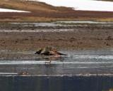 Grey Canyon Pack Wolf on Elk Kill in Alum Creek in the Hayden Valley.jpg