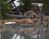 Grey Wolf Climbing Over a Log at North Twin Lake.jpg