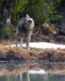 Grey Wolf Shaking Himself Off at North Twin Lake.jpg