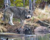 Grey Wolf on the Kill at North Twin Lake.jpg