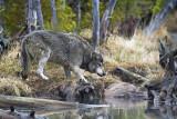 Grey Wolf Feeding on Elk Kill at North Twin Lake.jpg