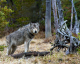 Grey Wolf Profile at North Twin Lake.jpg