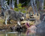 Grey Wolf Licking His Chops at North Twin Lake.jpg