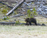 Grizzly Sow with Two Cubs at Grizzly Lake.jpg