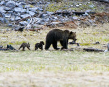 grizzly Sow with Two Cubs at Grizzly Lake Walking.jpg