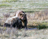 Grizzly Sow with Two Year Old Cub at Blacktail Ponds.jpg