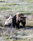 Grizzly Sow with Two Year Old Cub at Blacktail Pond Vertical.jpg