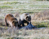 Grizzly Sow with Two Year Old Cub at Blacktail Ponds Feeding on Bison Carcass.jpg
