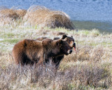 Grizzly Sow with Two Year Old Cub at Blacktail Ponds with String of Meat in Cubs Mouth.jpg