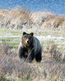 Grizzly Cub at Blacktail Ponds.jpg