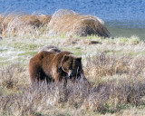 Grizzly Sow at Blacktail Ponds.jpg