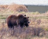 Grizzly Sow at Blacktail Ponds in front of Cub.jpg
