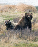 Grizzly Sow with Two Year Old Cub at Blacktail Ponds Facing Front.jpg