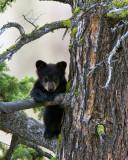 Black Bear Cub in a Tree Near Calcite Springs.jpg