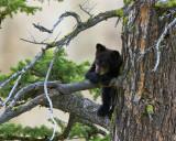Black Bear Cub Leaning on Branch Near Calcite Springs.jpg