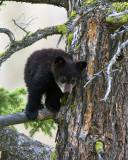 Black Bear Cub Standing on Branch Near Calcite Springs.jpg