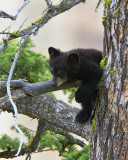 Black Bear Cub Hanging Over Branch Near Calcite Springs.jpg