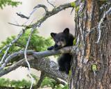 Black Bear Cub Near Calcite Springs.jpg