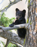 Black Bear Cub Near Calcite Springs with Piece of Wood in his Mouth.jpg